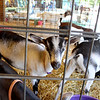 Goats, cows, sheep, roosters, horses and even a turkey were on scene throughout the Kendall County Fair as part of petting zoos and 4-H competitions.