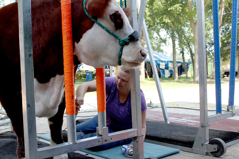 Barb Winters brushes Milton, a steer calf belonging to her niece Mandy Hacker, during the Kendall County Fair on Saturday, Aug. 5. Many farm animals were entered into 4-H competitions at the fair by the members of local clubs.
