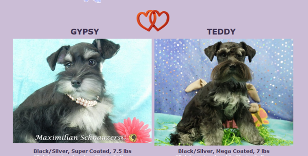 Gypsy & Teddy Puppies, DOB 9/04/2017