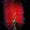 callistemon citrinus red puffy fluffy flower plant