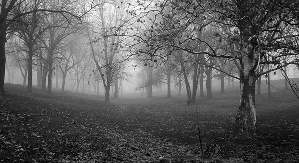 BW Foggy Trees