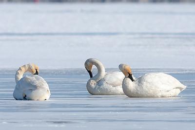 DA029,DN,Trumpter Swans