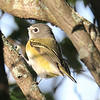 Blue-headed Vireo - The beak is there only cut-off by shadow.