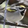 Golden-winged Warbler - Montrose
