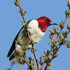 Red-headed Woodpecker - Montrose