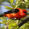 Scarlet Tanager - Montrose
