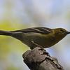 Pine Warbler- Montrose