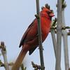 Northern Cardinal - Montrose