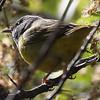 Mourning Warbler- Montrose