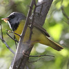 Mourning Warbler - Montrose