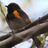 American Redstart - Montrose