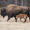 Wood Bison, canada. with calf