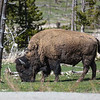 Bison, Yellowstone Park