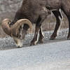 Stone sheep. Canada.  called that as they will lick the asphalt to get at the salt on the road.