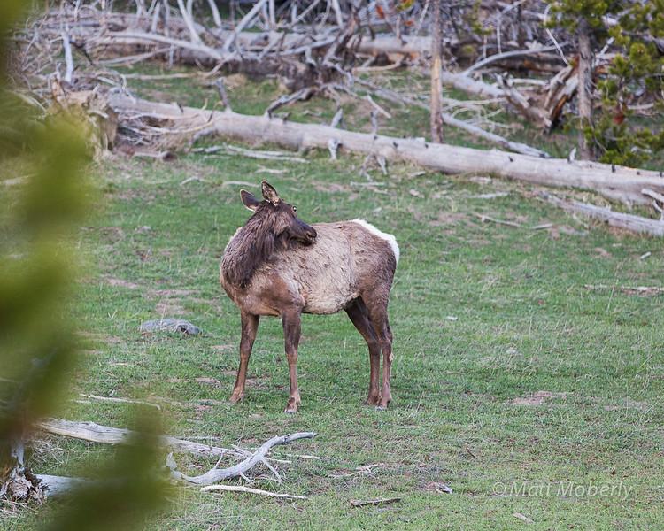 Elk, Yellowstone Park