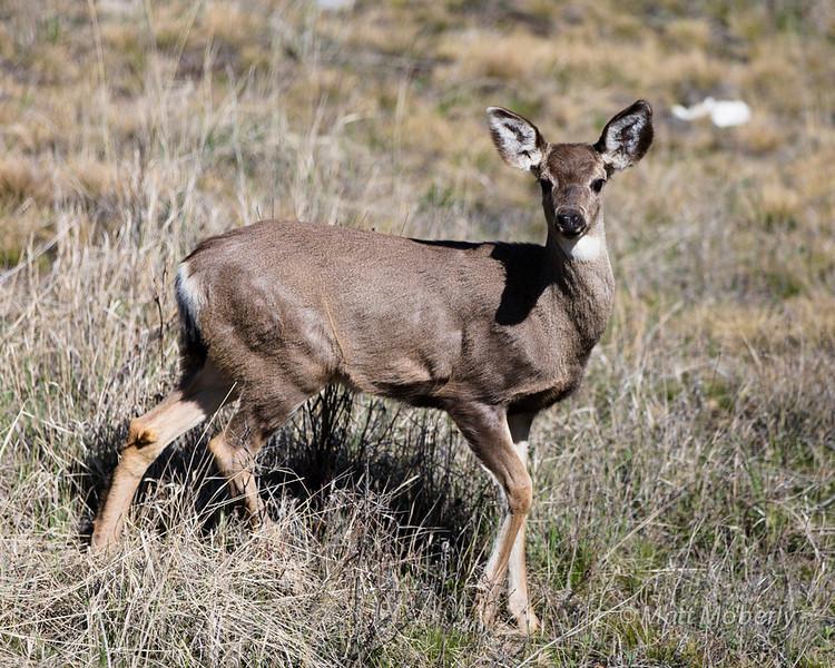 Mule Deer, Canada