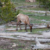 Elk, Yellowstone Park