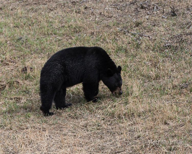 Black Bear, canada.