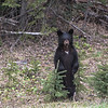 Black bear cub, canada. mama bear with just off to the right