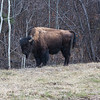 Wood Bison, Canada