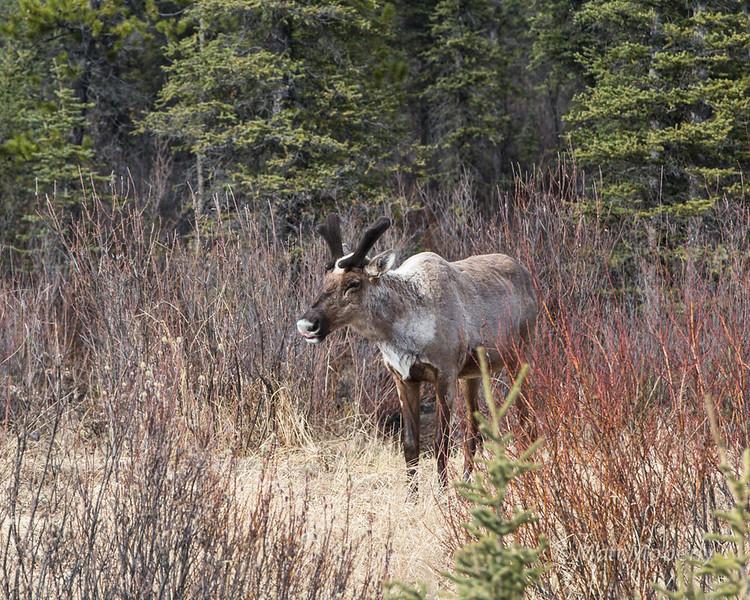 caribou. canada