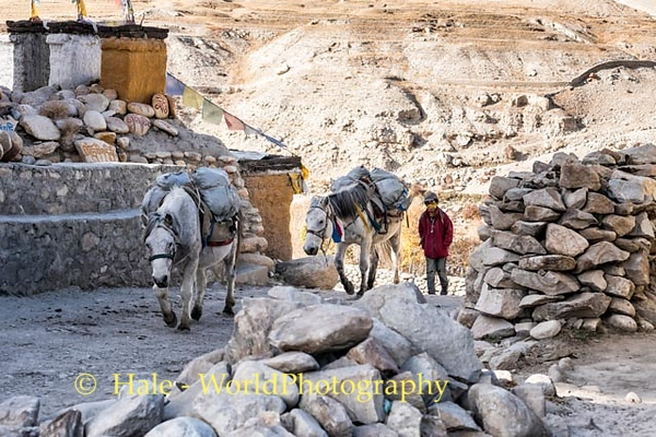 Lo Manthang Pack Train