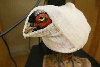 IMG_5151 a stuffed pheasant in the classroom dressed as a mummy