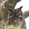 Arlington Heights - Great Horned Owl