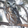 Saw-whet Owl-Kane County