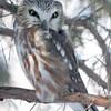 Saw-whet Owl-Kane County