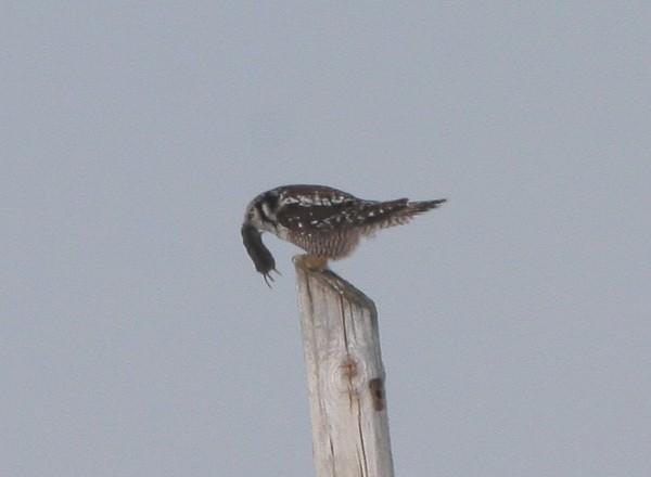 Northern Hawk Owl with Vole-Sax-Zim