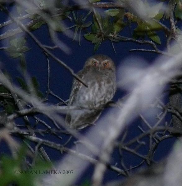 Elf Owl -Baptiste B&B