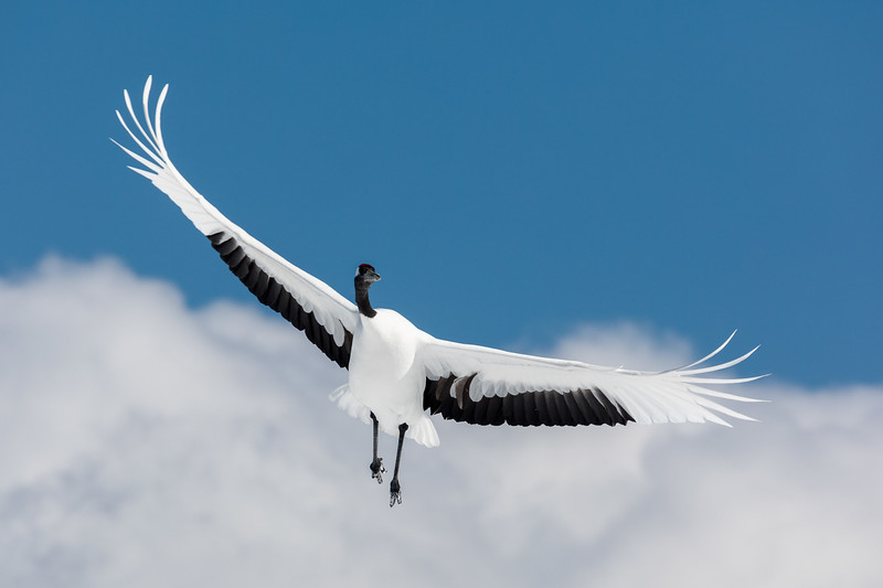 Akan International Crane Center, near Kushiro, Hokkaido, Japan. A red-crowned crane soars in the clouds. Red-crowned cranes are among the largest and heaviest cranes in the world.  These cranes are highly symbolic in Japanese culture. They appear on the tail of every JAL airliner and are often featured on the back of traditional Japanese wedding kimonos.