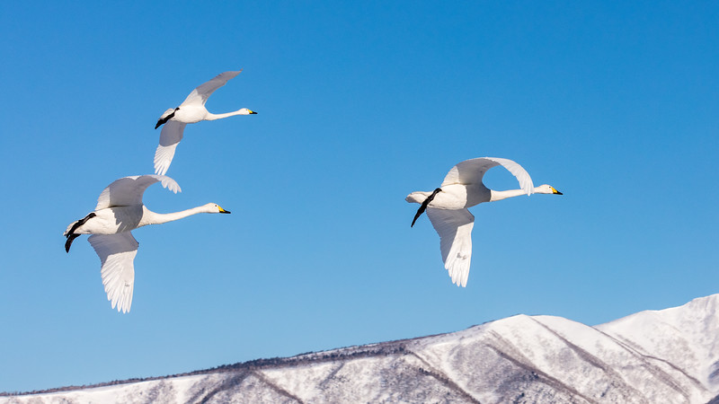 Lake Kussharo, Hokkaido, Japan. A group of whooper swans flies along the ridges of the caldera that forms the lake. These swans summer in Siberia and about 6000 of them winter here.