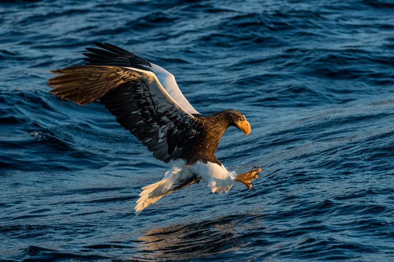 Rausu, Hokkaido, Japan. A Steller's sea eagle reaches for fish in the sea after diving from on high with awesome speed and power. Winter drives thousands of these eagles from their breeding grounds in Kamchatka, Russia to Hokkaido and the active fisheries of the Nemuro Strait. Charter boats take researchers, photographers and other tourists from Rausu out into the Nemuro Strait. The crew throws out fish to encourage the sea eagles to show off their acrobatic talents.