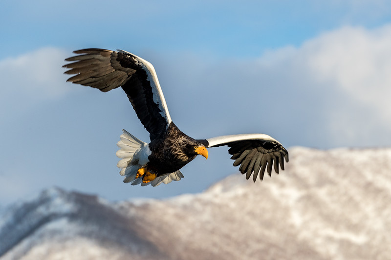 Rausu, Hokkaido, Japan. A Steller's sea eagle surfs the sky along the ridges of the Shiretoko Mountains that border Rausu and its bustling harbor.  Steller's sea eagles are threatened, even though they are legally protected in Russia and in Japan, where they are officially designated a National Treasure. They have no natural predators, but human activity remains a serious threat.