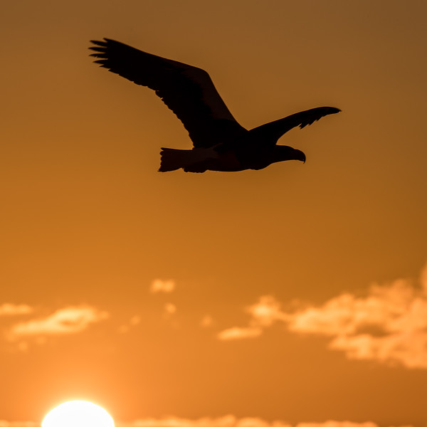 Rausu, Hokkaido, Japan. A sea eagle is silhouetted against a sunrise sky outside the Rausu harbor.