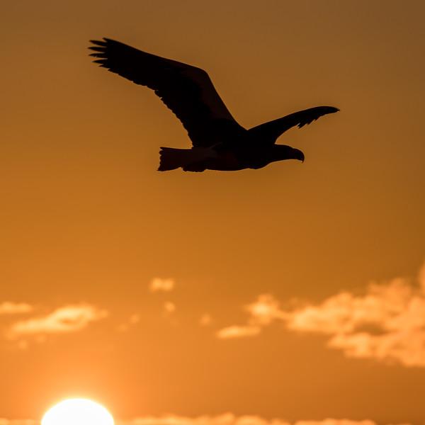 Rausu, Hokkaido, Japan. A sea eagle is silhouetted against a sunrise sky outside the Rausu harbor.