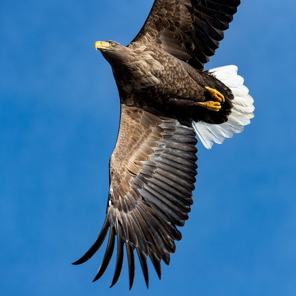 Rausu, Hokkaido, Japan. Also active in the skies here are white-tailed sea eagles. In Asia, these birds breed in Siberia and winter in the south, including in Hokkaido.