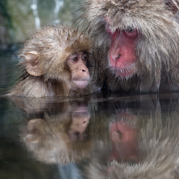 Jigokudani, Nagano, Japan. This area of Japan, like many others, has numerous hot springs. In this reserve, pools have been constructed to collect the warm water; the monkeys enjoy spending time in and around the pools.  This parent and juvenile are enjoying a graceful moment of quiet reflection.