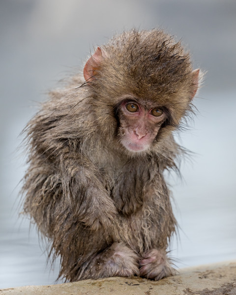 Jigokudani, Nagano, Japan. A young monkey emerges from the warm water into the cold air. This reserve is in the Nagano prefecture of Japan, which is west of Tokyo on the main island of Honshu.  This area was the site of the 1998 Winter Olympics.