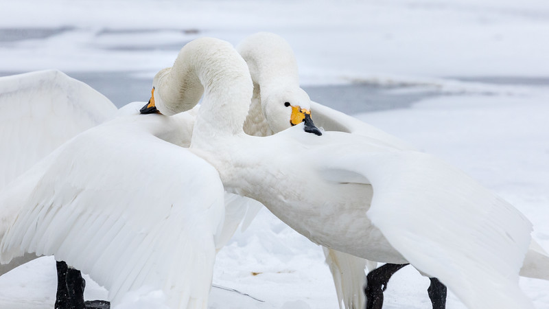 Lake Kussharo, Hokkaido, Japan. On the ice or in shallow water, the swans can be raucous and rather slapdash.  They have loud and sometimes violent disputes, including mutual backbiting, where each combatant is determined to hold on the longest.