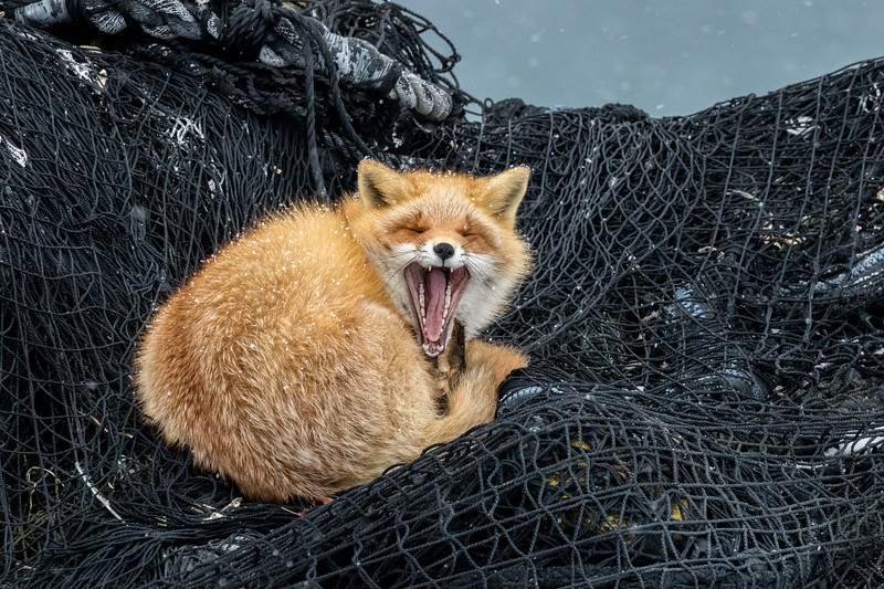 Notsuke Peninsula, Hokkaido, Japan. An Ezo red fox yawns on a fishing net stored outside for the winter. The peninsula is home to thriving seasonal fishing community. In winter, the fishing boats are pulled up on the sand and their nets stacked.