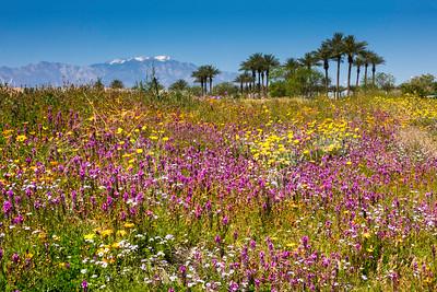 Flower field in Indian Wells, California