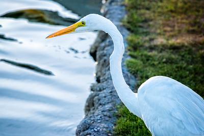 White heron in Palm Desert, California