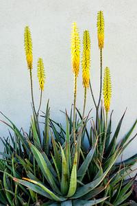 Aloe cactus in Palm Desert, California