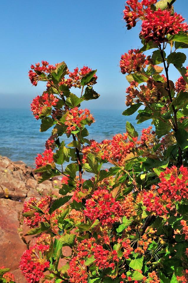 """""""Ninebark in Full Bloom, Seven Mile Point"""" by Dennis Hake"""