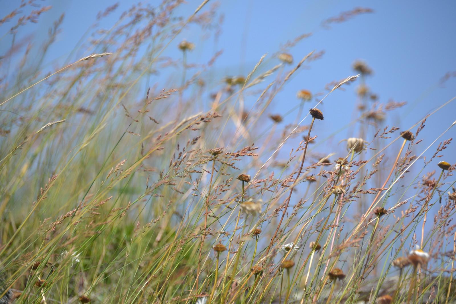 Beach Grass by Miriam Pickens