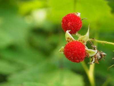 Hidden Thimbleberries by Jennie Baker