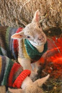 IMG_6668 lamb